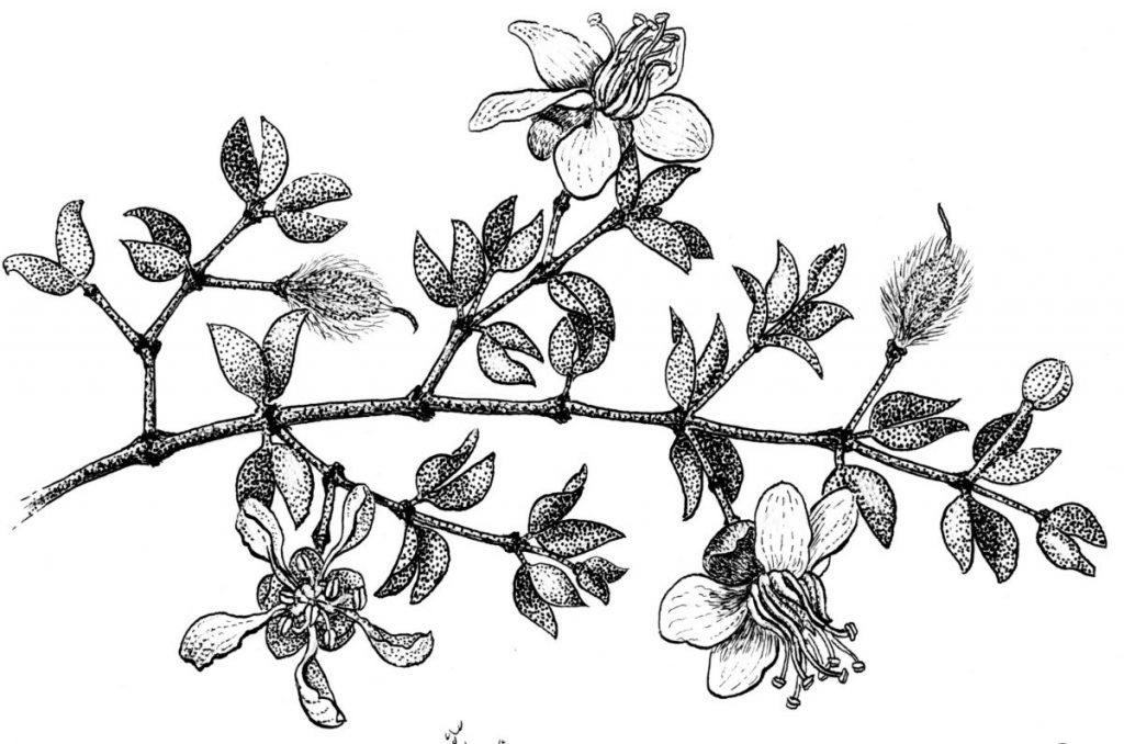 Creosote – The Aroma of Rain