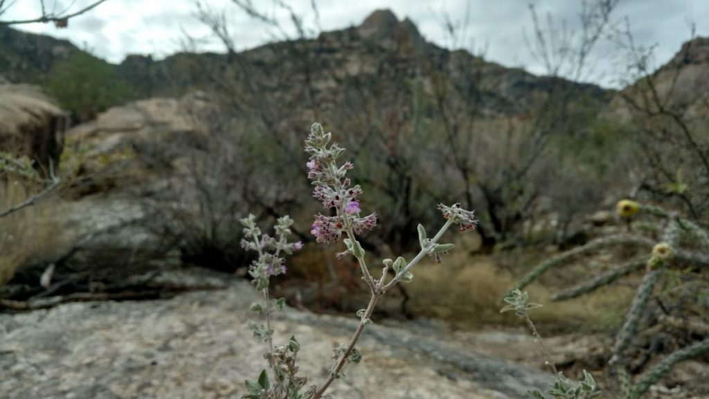Desert Lavender – A Native Plant Knockout