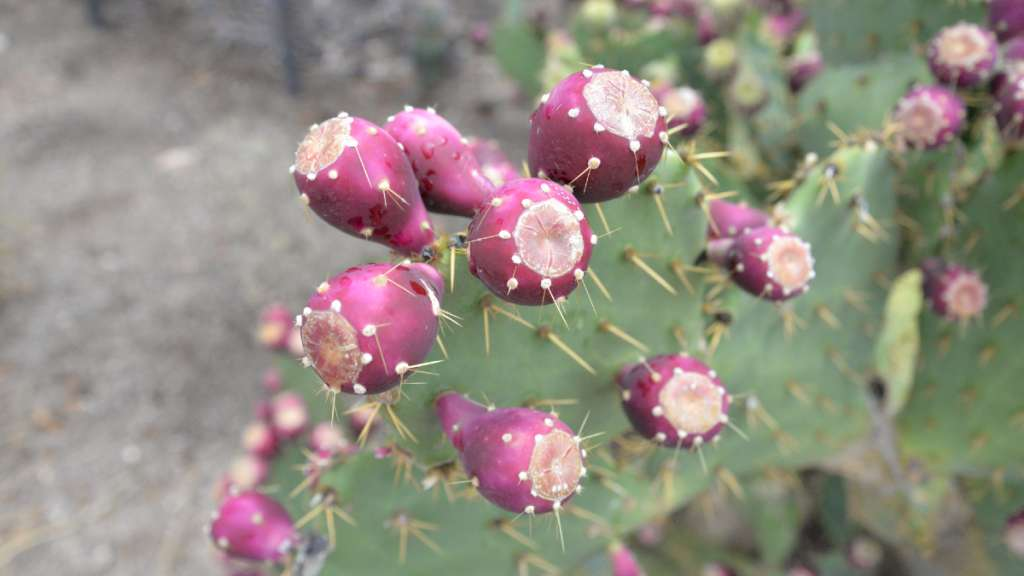 How To Process Prickly Pear Fruit